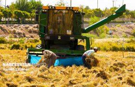 روزهای پر رنج برداشت برنج در لنجان