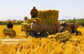 جمع آوری پوشال برنج از شالیزارهای لنجان